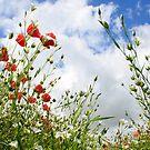 Bugs view of a poppy field - Eartham, West Sussex by Jennifer Standing