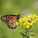 Autumn Monarch by Gregg Williams