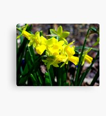 Yellow Daffodils in the Springtime Canvas Print