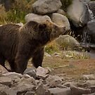 A Grizzly's Gaze by Jeff Weymier