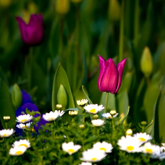 One Tulip Among A Daisy Hill by Kuzeytac