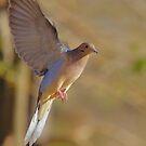 Mourning Dove in Flight 2 by SB  Sullivan