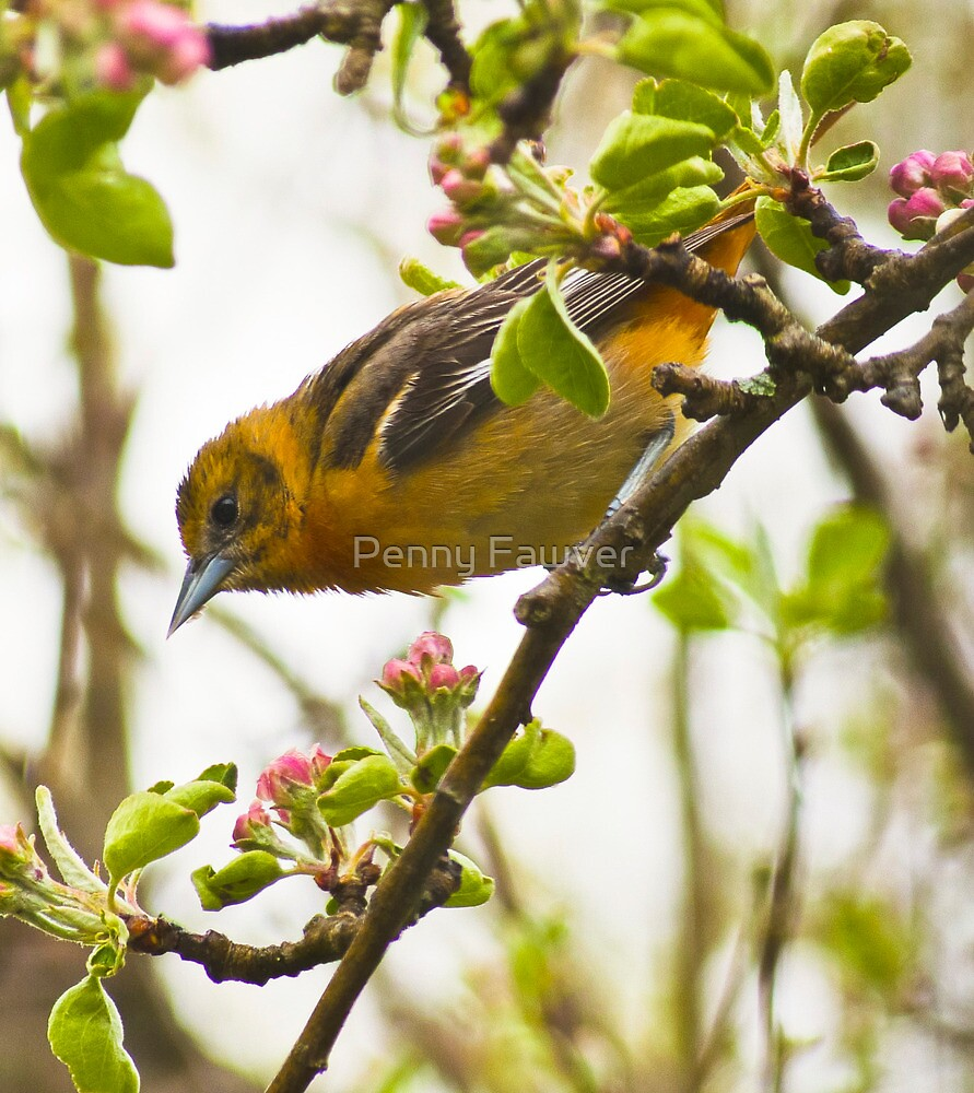 Female oriole by Penny Rinker
