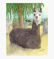 Llamas Lounging Farm Animal Pets Art Cathy Peek Photographic Print
