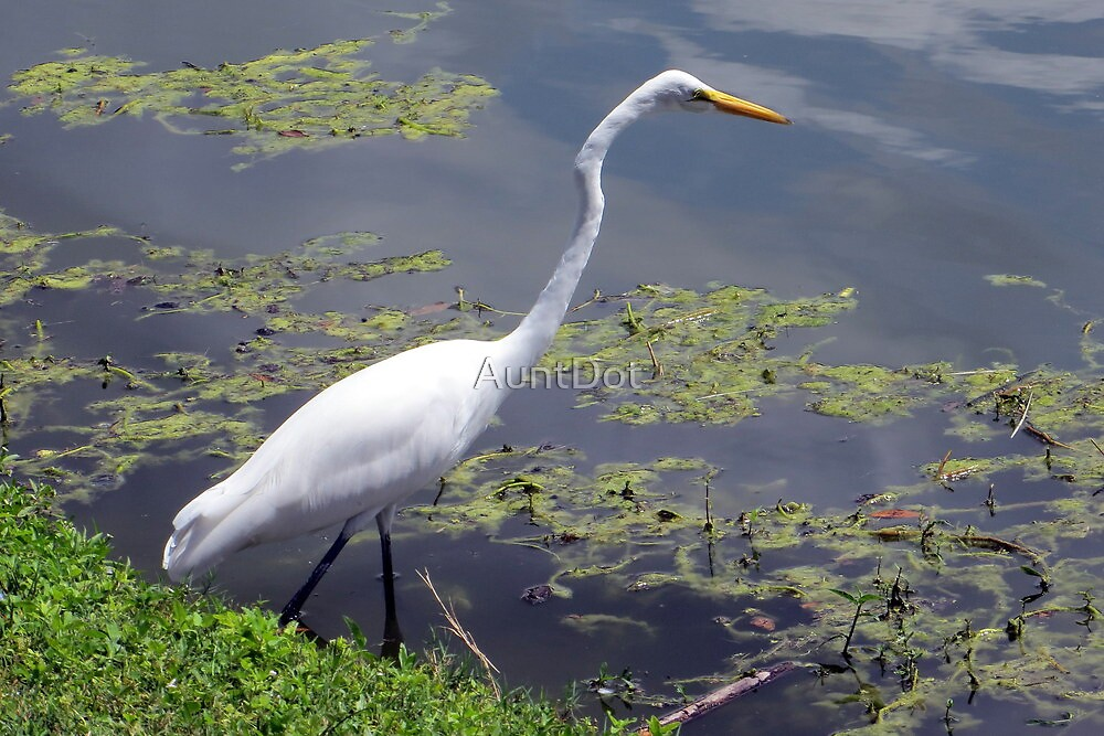 Great Egret At Pond's Edge by AuntDot
