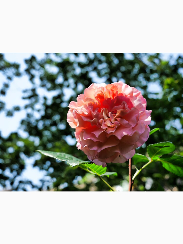 Pink Rose with bokeh by santoshputhran