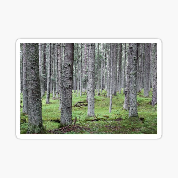 Silent pine tree forest with secular trees, deep in nature Sticker