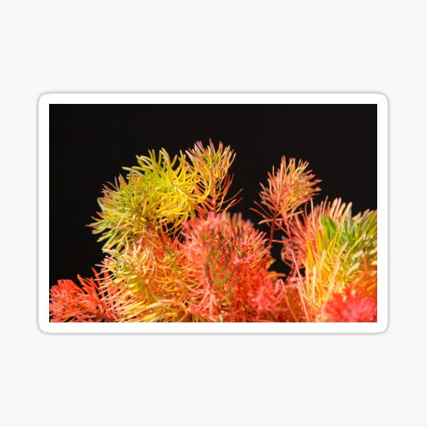 Colored plants that look like pine leaves Sticker