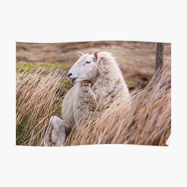 Sheep in tall grass in Ireland countryside Poster