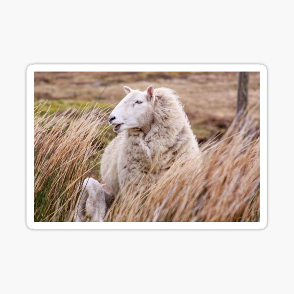 Sheep in tall grass in Ireland countryside Sticker