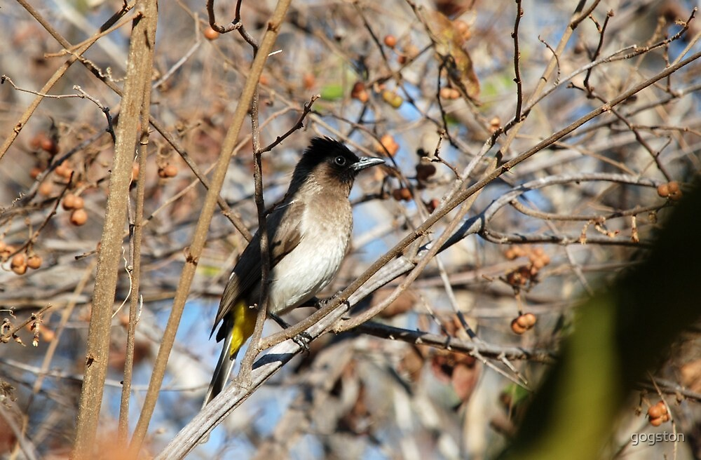 Bulbul in South Africa by gogston