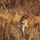 Lioness on the prowl by gogston