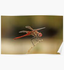 Male Red-Veined Darter Poster