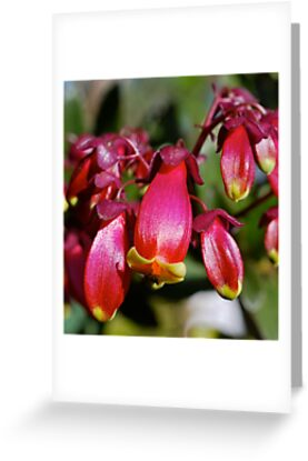 Kalanchoe  by Penny Smith