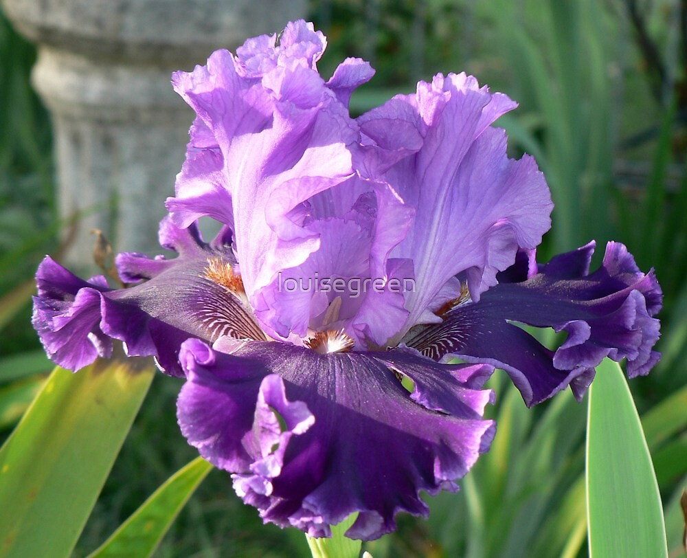 Louisa's Song - Bearded Iris by louisegreen