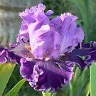 Louisa's Song - Bearded Iris by louisegreen