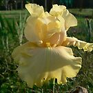 Lanai - Bearded Iris by louisegreen