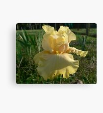 Lanai - Bearded Iris Canvas Print