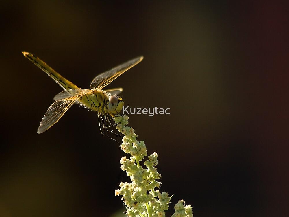 Sunshine on a landed Dragonfly. by Kuzeytac