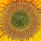 Sunflower Sunshine. by Lee d'Entremont