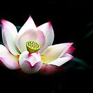 200809170828 Lotus by Steven  Siow