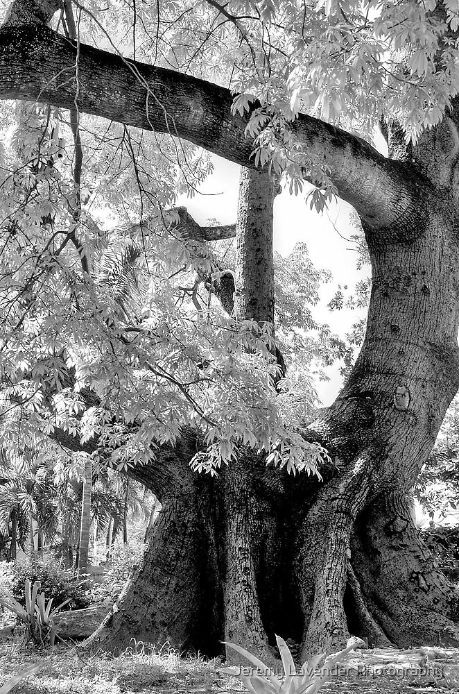 Cotton tree on Shirley Street in Nassau, The Bahamas by Jeremy Lavender Photography