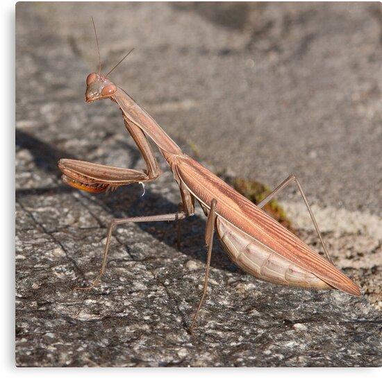 Praying mantis by David Clarke