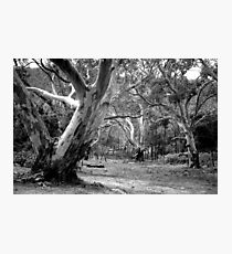 River Red Gums. Photographic Print