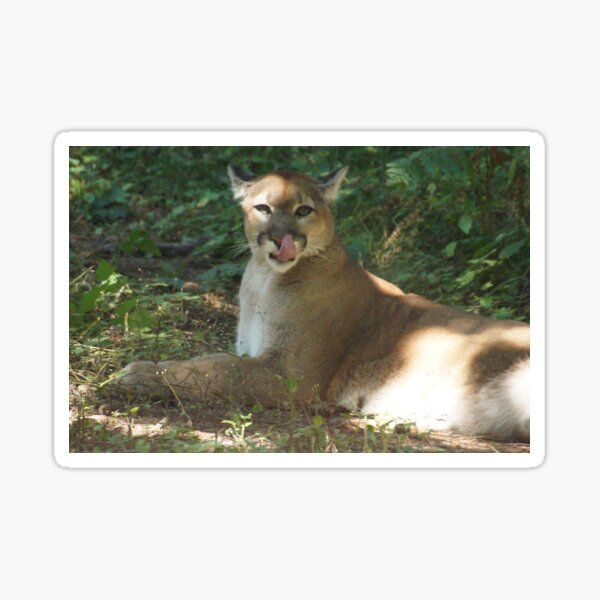 Cougar Licking Its Chops Sticker