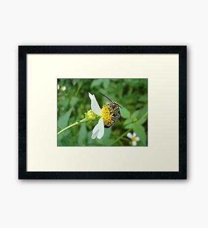FLOWER WASP IN SPANISH NEEDLES Framed Print