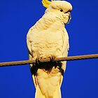sulphur crested cockatoo by Kym Bradley