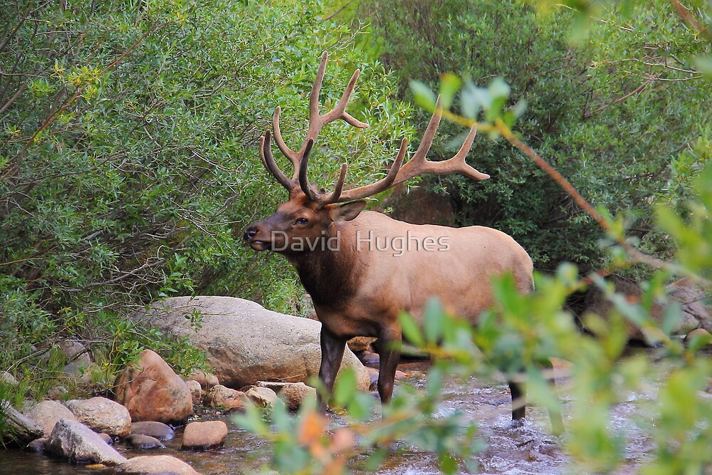 Bull Elk surprised me! by David  Hughes