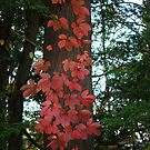 Virginia creeper by Penny Fawver