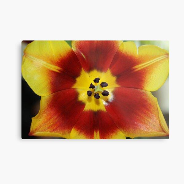 Tulip closeup photo Metal Print