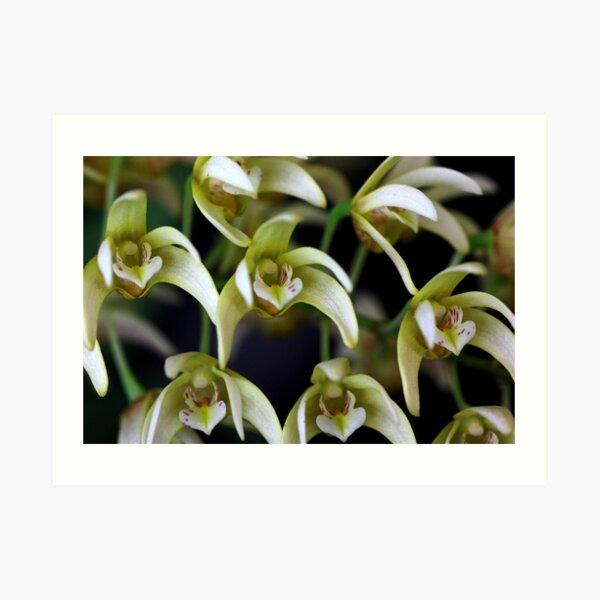 Dendrobium golden cascades Art Print