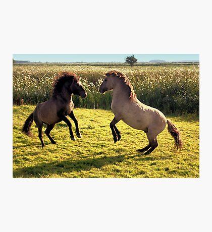 Jumping Konik Horses Photographic Print