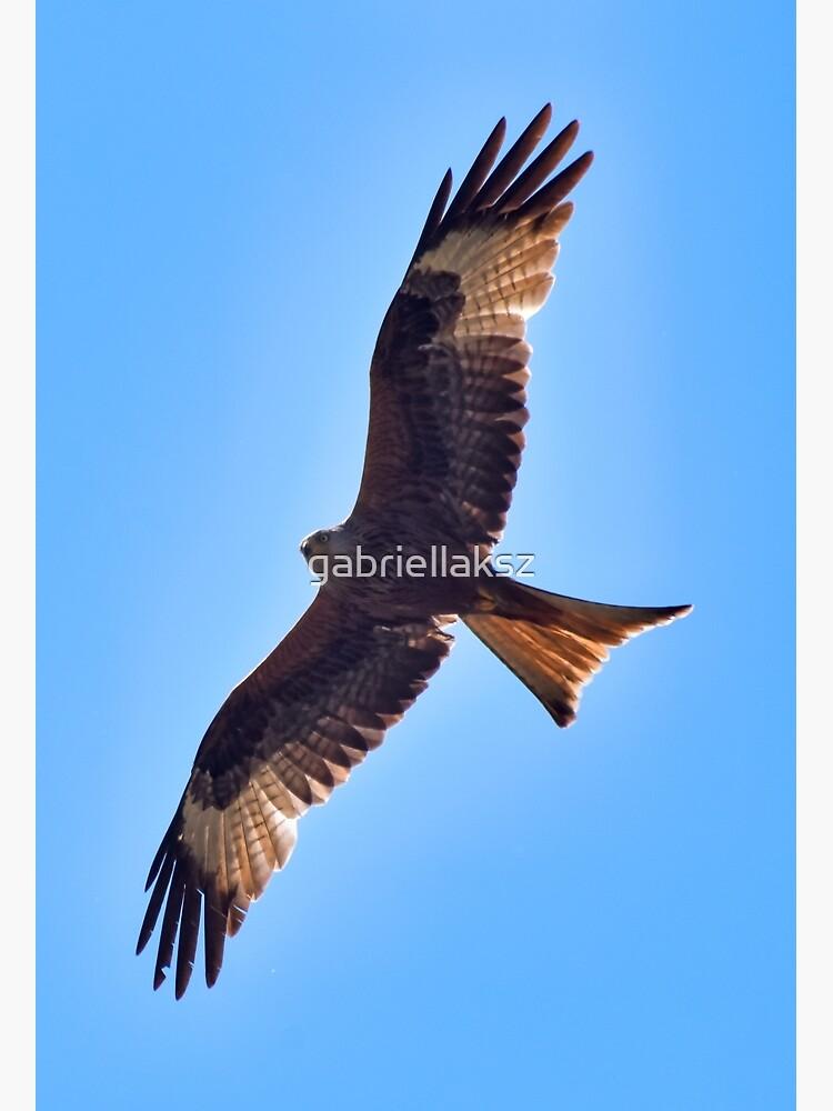Red kite by gabriellaksz