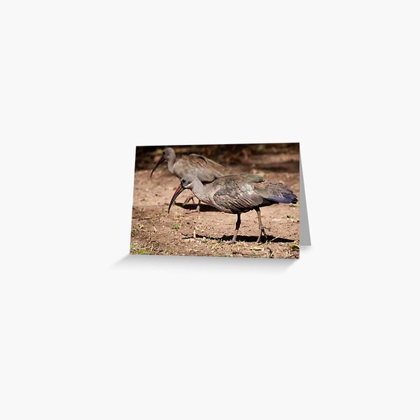 Hadeda Ibis, Kruger National Park, South Africa Greeting Card
