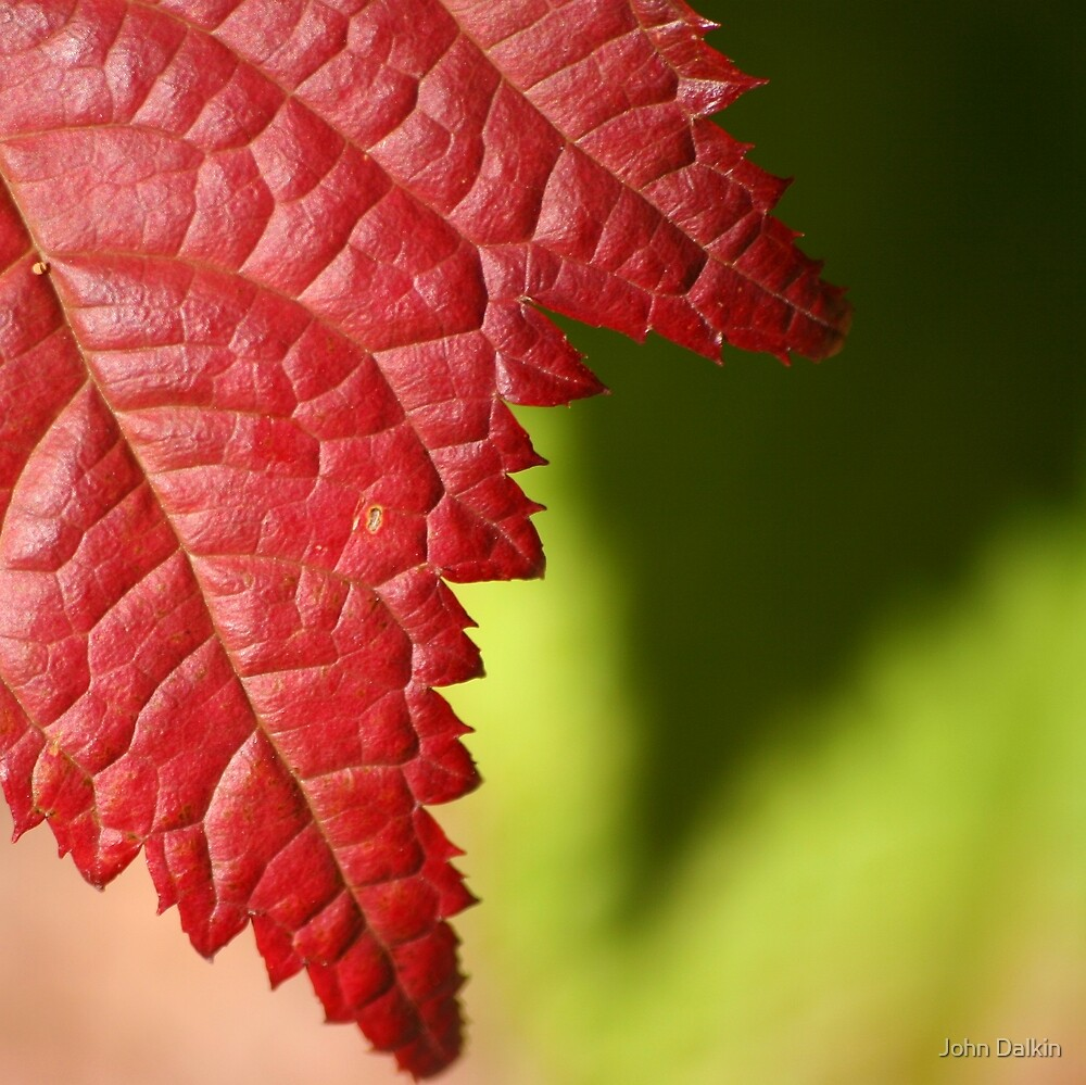 Red Leaf Lines by John Dalkin