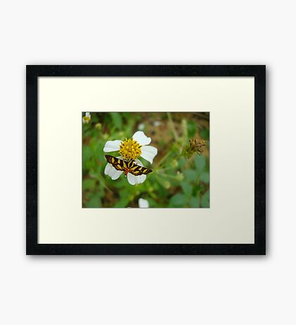 Syngamia florella:  A  DAY FLYING MICROMOTH Framed Print