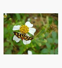 Syngamia florella:  A  DAY FLYING MICROMOTH Photographic Print
