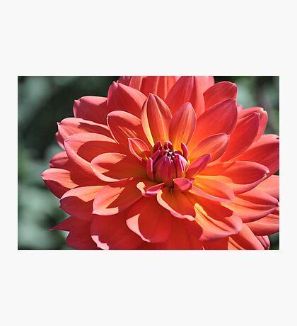 Last Flower Of Summer  Photographic Print