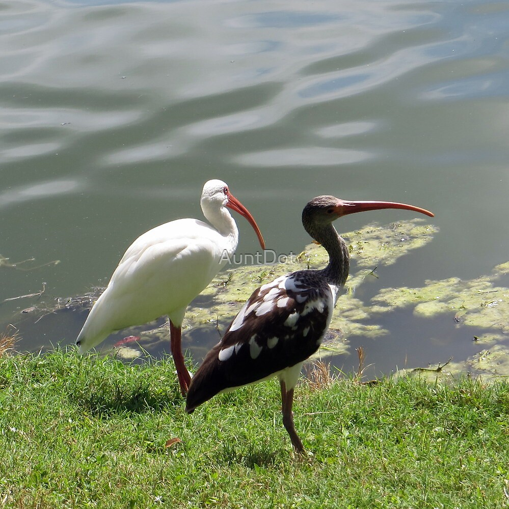 Mature and Juvenile White Ibises by AuntDot