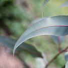 gum leaf by Kim Jackman