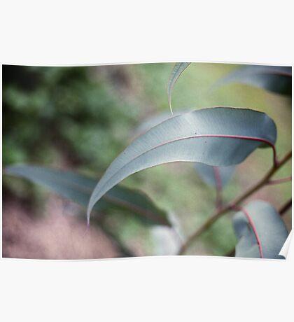 gum leaf Poster