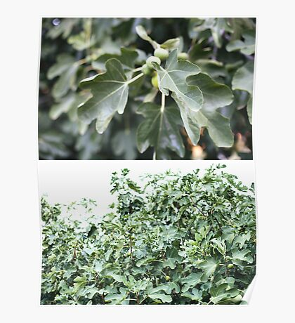 figtree diptych Poster