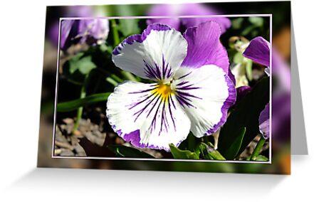 Purple Pansy by Julia Harwood