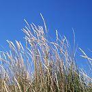 Beach Wheat One by Robert Phillips