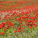 Red Anemone coronaria AKA Spanish marigold or Kalanit  by PhotoStock-Isra