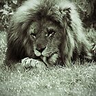 Lion by Colin Shepherd